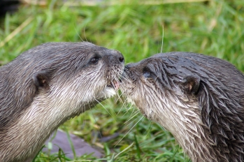 Otters at Martin Mere Wetland Centre / Image: Nigel Beard (via Flickr)